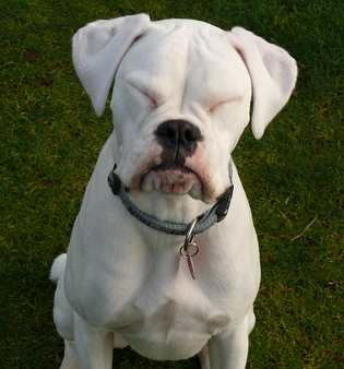 What were boxers bred to do?